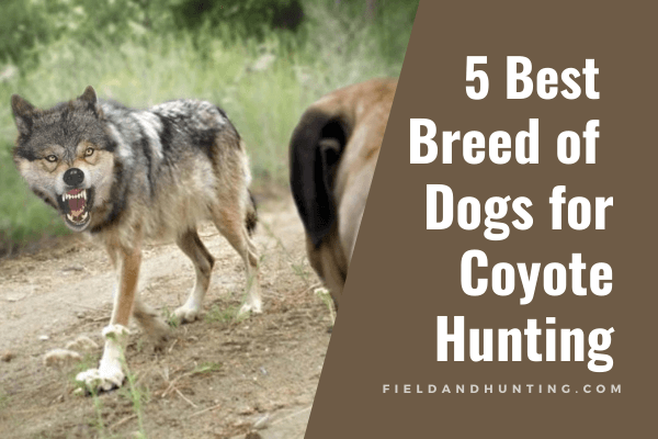 5 Best Breed of Dogs for Coyote Hunting